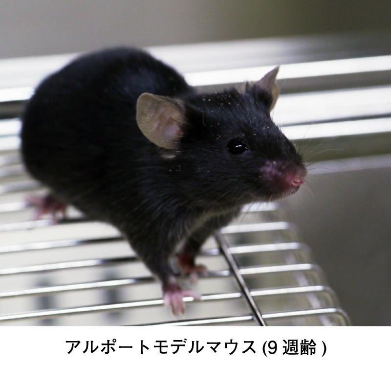 アルポートモデルマウス(9週齢)