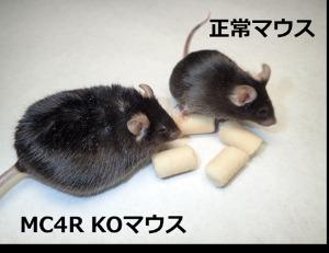 MC4R KOマウス