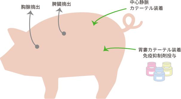 免疫抑制ブタのイメージ