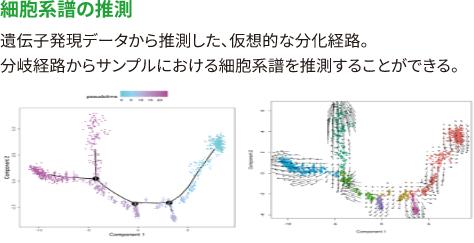 【細胞系譜の推測】 遺伝子発現データから推測した、仮想的な分化経路。 分岐経路からサンプルにおける細胞系譜を推測することができる。