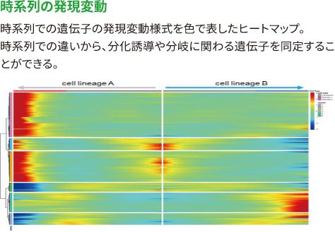 【時系列の発現変動】 時系列での遺伝子の発現変動様式を色で表したヒートマップ。 時系列での違いから、分化誘導や分岐に関わる遺伝子を同定することができる。